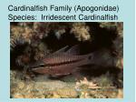 cardinalfish family apogonidae species irridescent cardinalfish