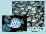 convict tang manini