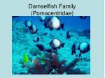damselfish family pomacentridae
