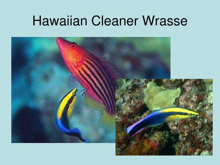 Hawaiian Cleaner Wrasse