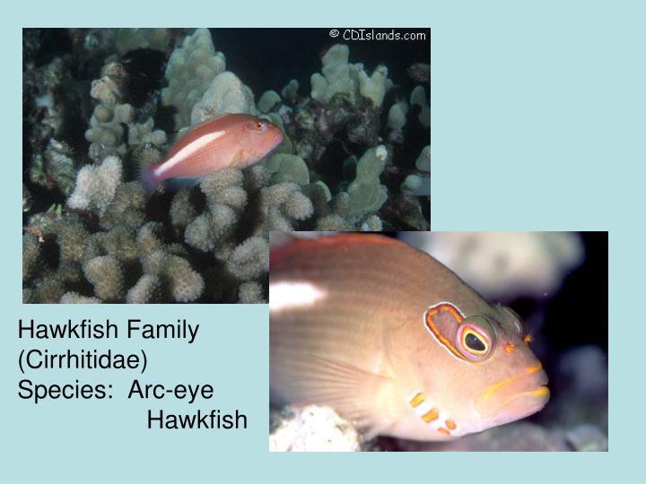Hawkfish Family