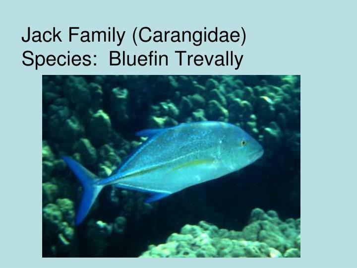 Jack Family (Carangidae)