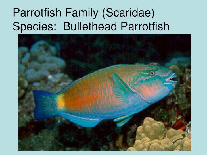 Parrotfish Family (Scaridae) Species:  Bullethead Parrotfish
