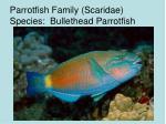 parrotfish family scaridae species bullethead parrotfish