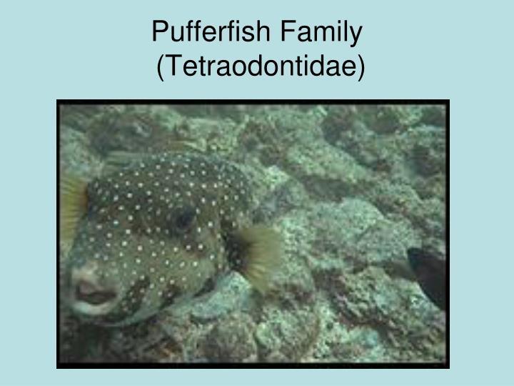 Pufferfish Family