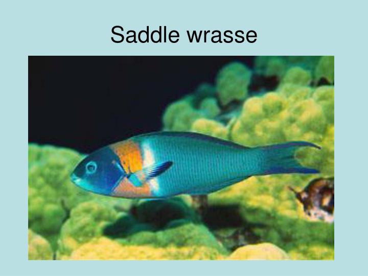 Saddle wrasse