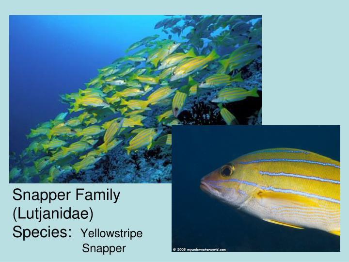 Snapper Family