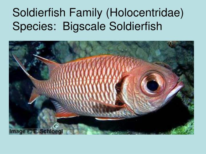 Soldierfish Family (Holocentridae)