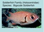 soldierfish family holocentridae species bigscale soldierfish