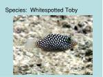 species whitespotted toby