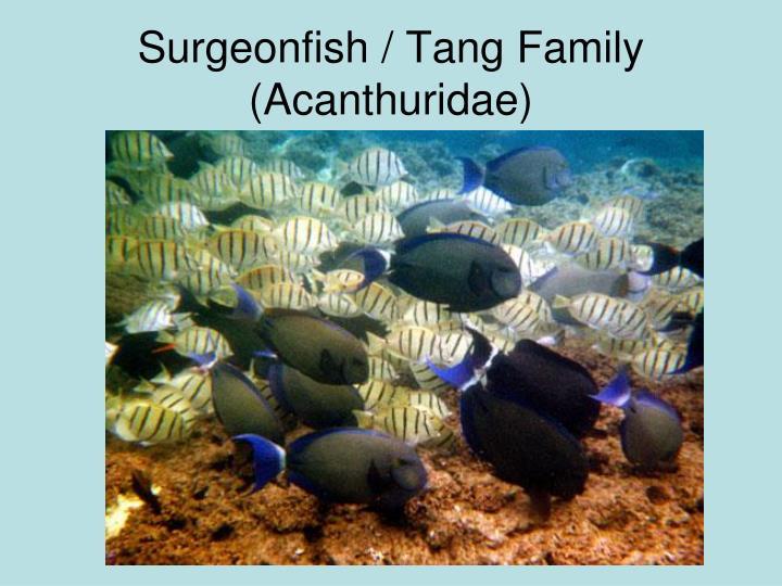 Surgeonfish / Tang Family
