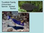 trunkfish family ostraciidae species spotted boxfish