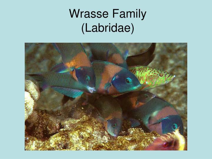 Wrasse Family