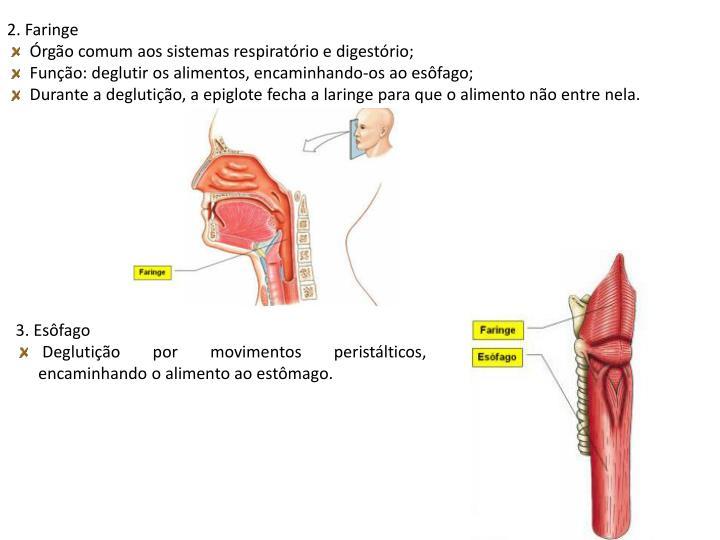 2. Faringe