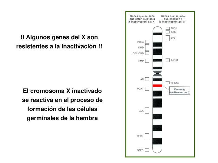 !! Algunos genes del X son resistentes a la inactivación !!