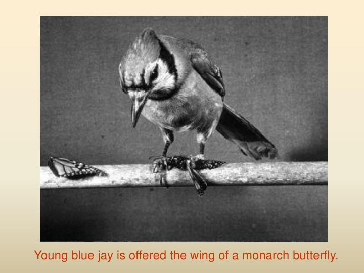 Young blue jay is offered the wing of a monarch butterfly.