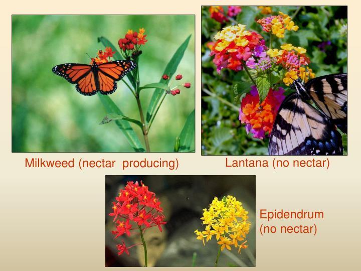 Lantana (no nectar)