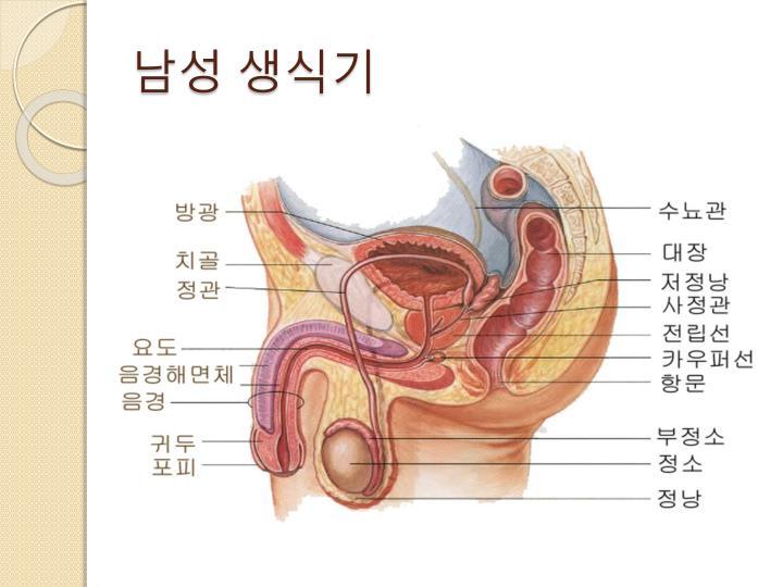 남성 생식기