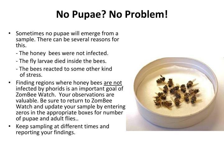 No Pupae? No Problem!