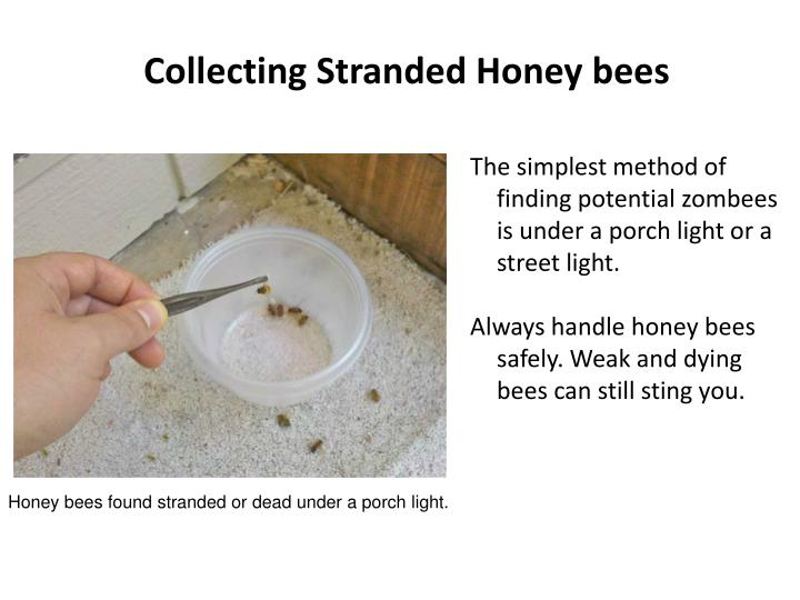 Collecting Stranded Honey bees