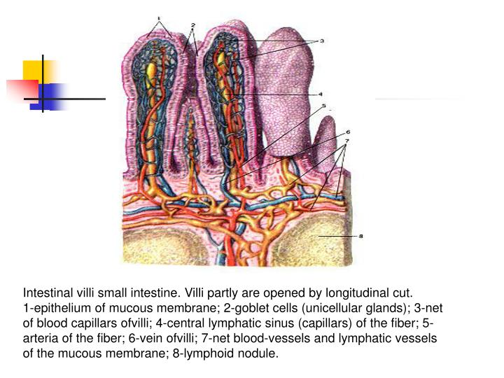 Intestinal villi small intestine. Villi partly are opened by longitudinal cut.