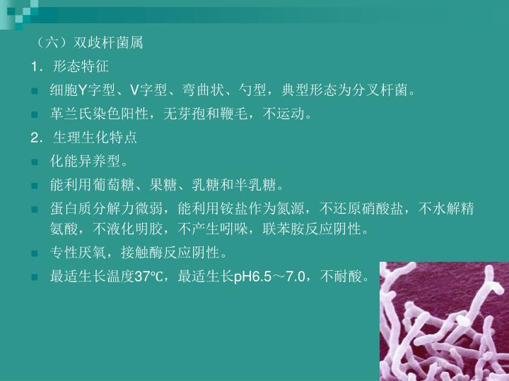 (六)双歧杆菌属