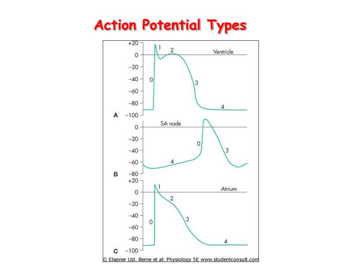 Action Potential Types
