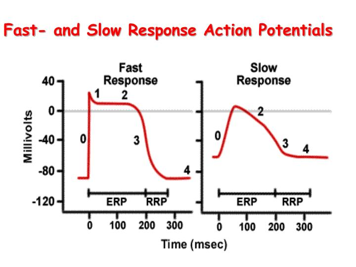 Fast- and Slow Response Action Potentials