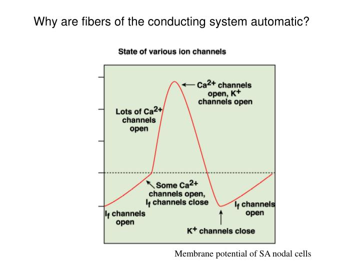 Why are fibers of the conducting system automatic?