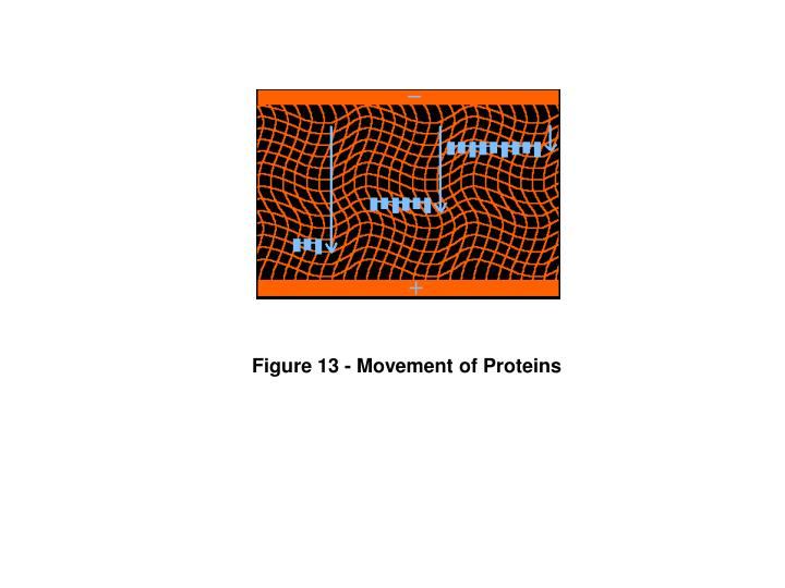 Figure 13 - Movement of Proteins