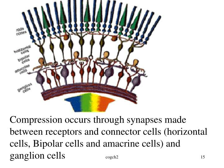 Compression occurs through synapses made between receptors and connector cells (horizontal cells, Bipolar cells and amacrine cells) and ganglion cells