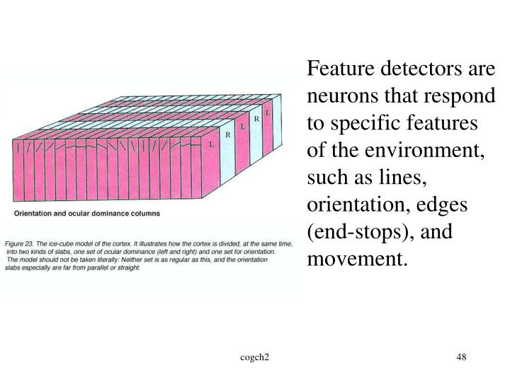 Feature detectors are neurons that respond to specific features of the environment, such as lines, orientation, edges (end-stops), and movement.