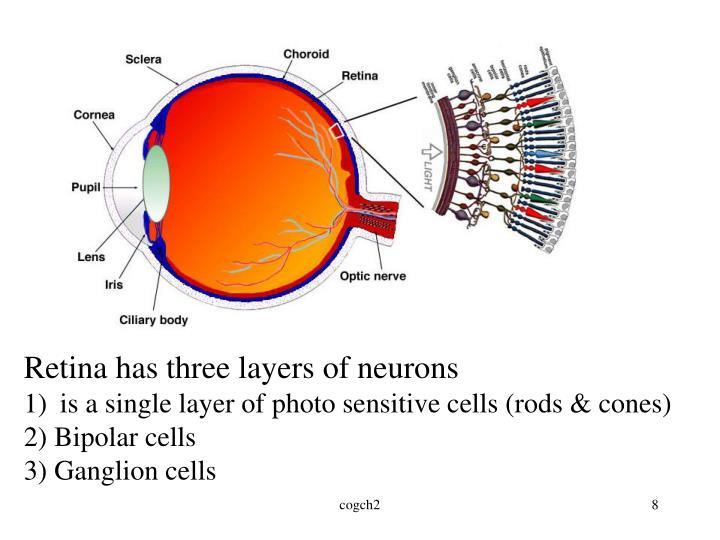 Retina has three layers of neurons