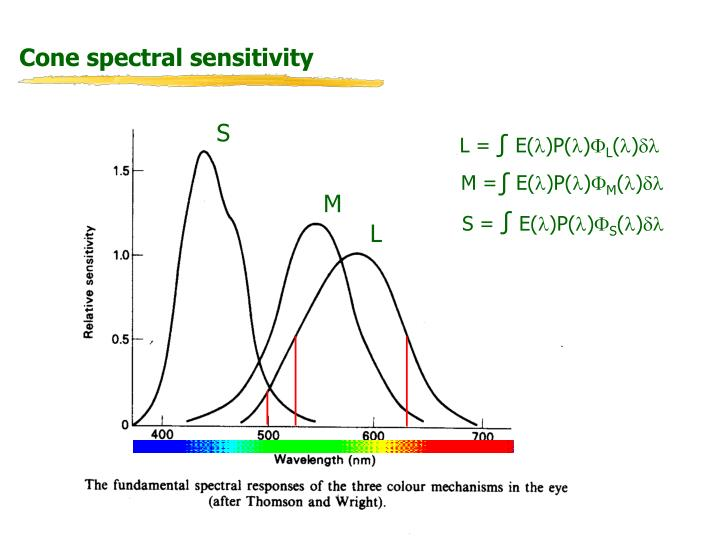 Cone spectral sensitivity
