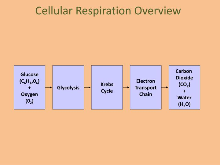 Cellular Respiration Overview