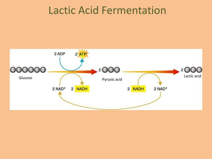 Lactic