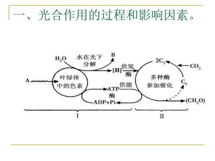 一、光合作用的过程和影响因素。