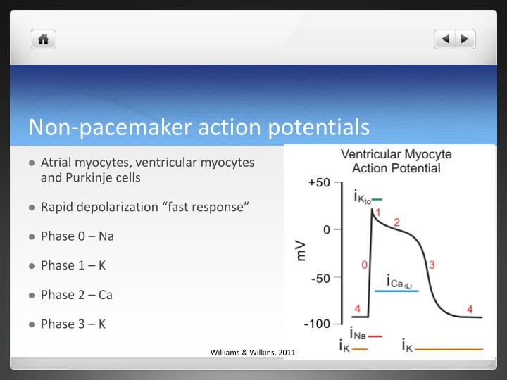 Non-pacemaker action potentials