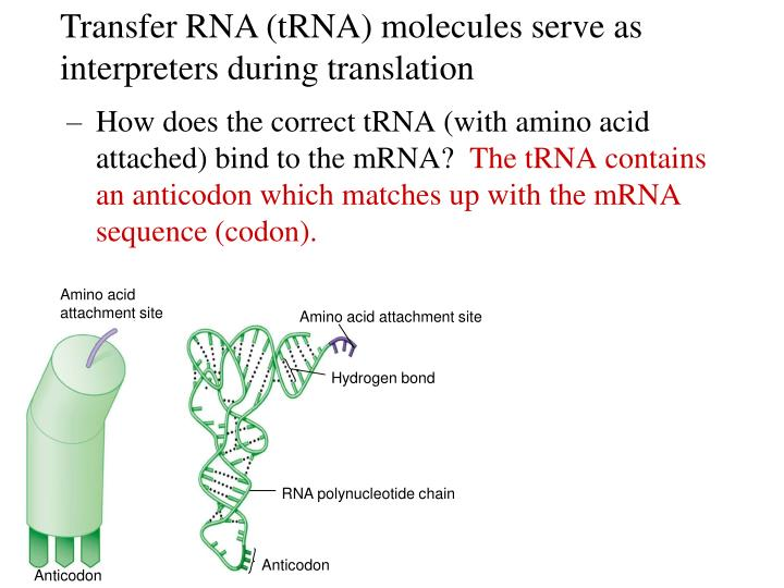 How does the correct tRNA (with amino acid attached) bind to the mRNA?