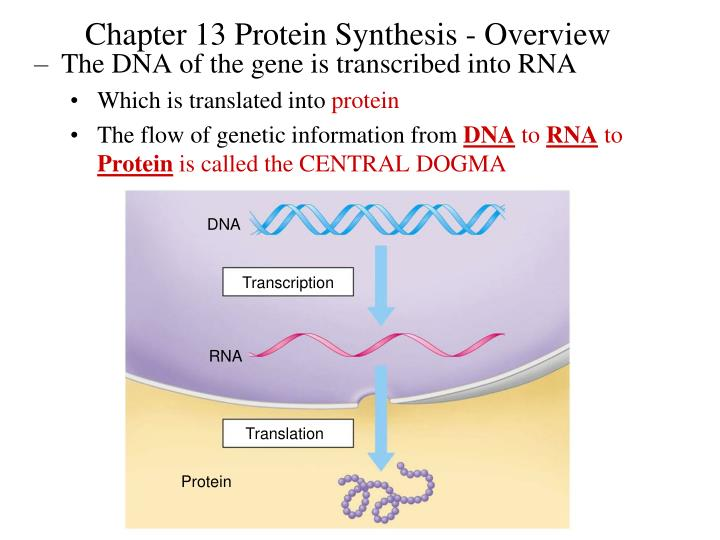 Chapter 13 Protein Synthesis - Overview