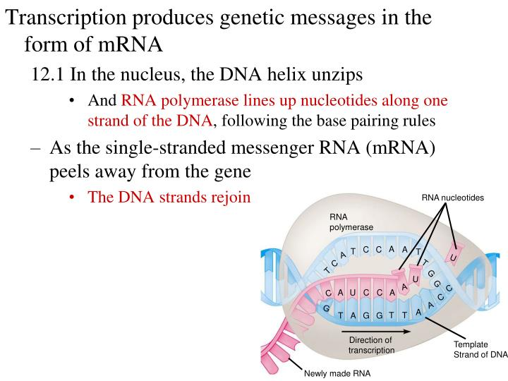 Transcription produces genetic messages in the form of mRNA