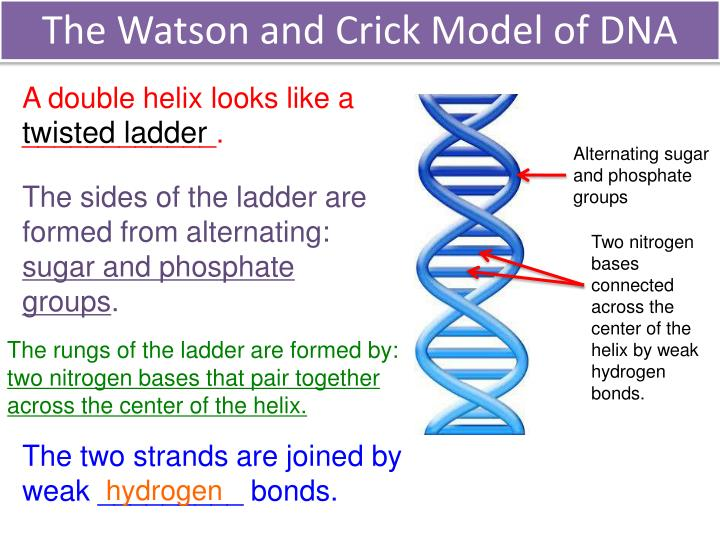 The Watson and Crick Model of DNA