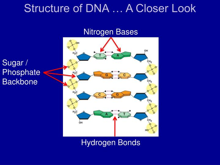Structure of DNA … A Closer Look