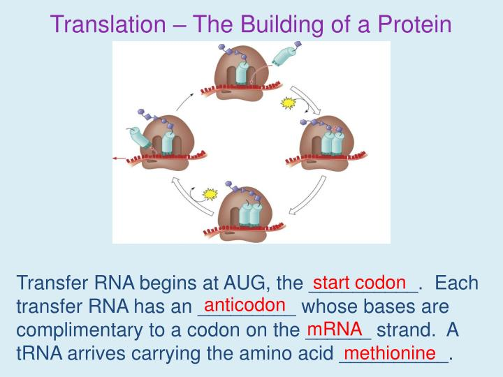 Translation – The Building of a Protein