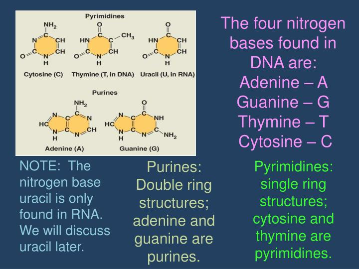 The four nitrogen bases found in DNA are: