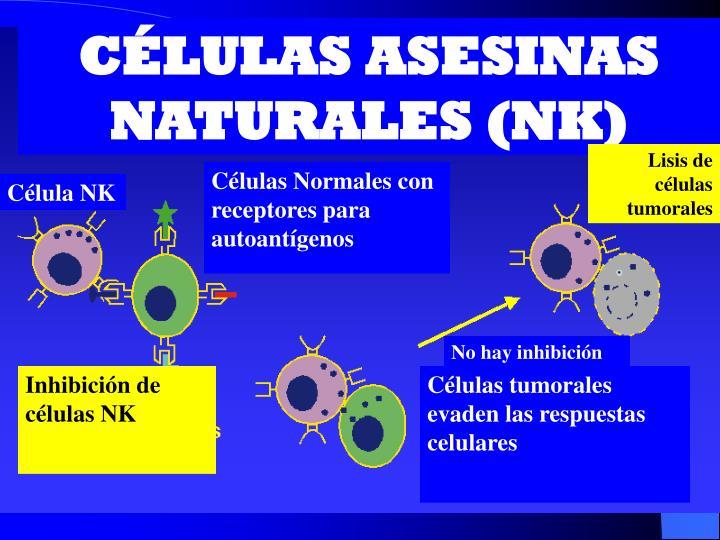 CÉLULAS ASESINAS NATURALES (NK)