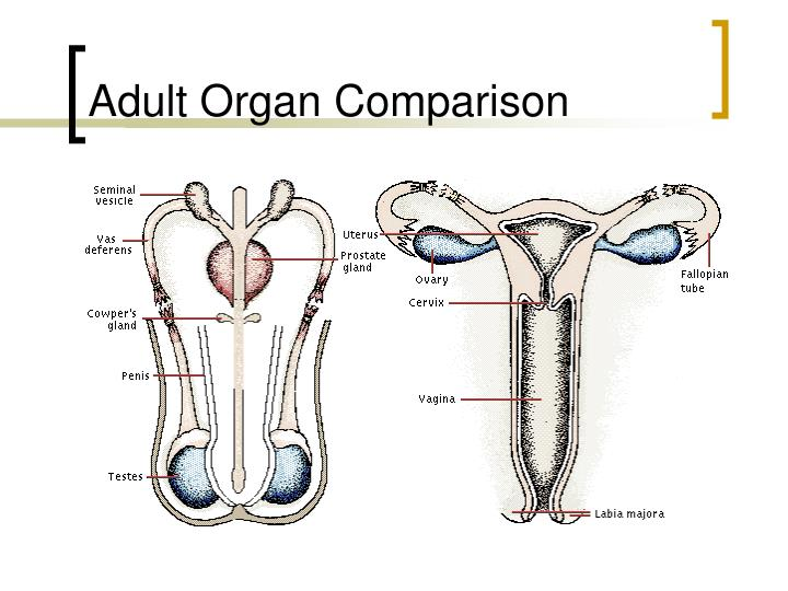 Adult Organ Comparison