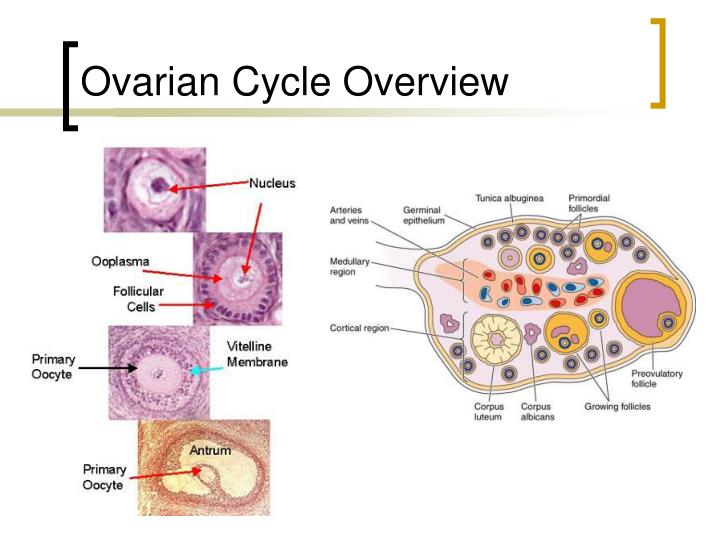 Ovarian Cycle Overview