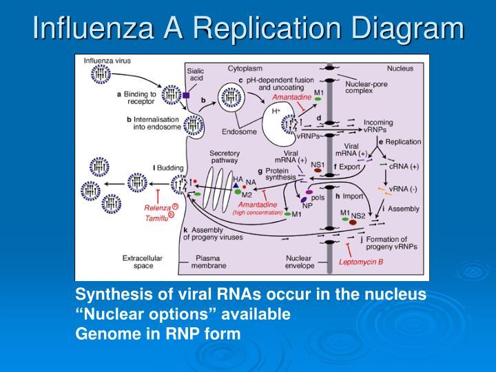 Influenza A Replication Diagram