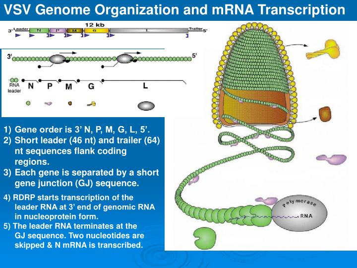 VSV Genome Organization and mRNA Transcription